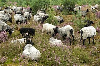 Le Mouton... dans MOUTON 320px-L%C3%BCneburger_Heide_-_069