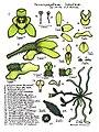 LR074 72dpi Taeniophyllum lobatum.jpg