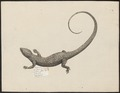 Lacerta ceylonica - 1700-1880 - Print - Iconographia Zoologica - Special Collections University of Amsterdam - UBA01 IZ12800015.tif