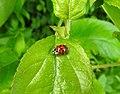 Ladybird (18217016929).jpg