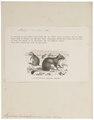 Lagostomus trichodactylus - 1700-1880 - Print - Iconographia Zoologica - Special Collections University of Amsterdam - UBA01 IZ20600157.tif