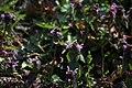 Lainzer Tiergarten März 2014 Purpurrote Taubnesseln (Lamium purpureum) Schwebfliege (Syrphidae) c.jpg