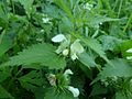 Lamium album (White Dead-nettle) - detail, Wigtown, Dumfries and Galloway, Scotland.jpg
