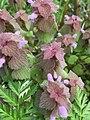 Lamium purpureum (red dead-nettle) in Ohio, United States.jpg