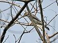 Large Cuckooshrike (Coracina macie) (Immature) at Jayanti, Duars W Picture 246.jpg