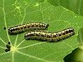 Large White Caterpillars (25730580178).jpg