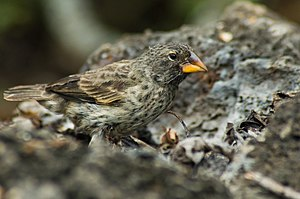 Large ground finch - Large ground finch