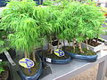 Larix bonsai in a garden centre.jpg