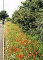 Late flowering new roadside poppies. - geograph.org.uk - 498951.jpg