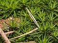 Laubmoos im Wald von Oftersheim (33120815041).jpg