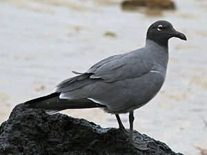 Lava gull -  Lava Gull standing