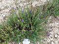 Lavandula latifolia (Vaucluse) (3).jpg
