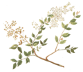 Lawsonia inermis Blanco part.png