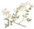 Lawsonia inermis Blanco part.png