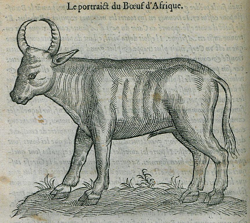 File:Le portrait du Boeuf d'Afrique - Belon Pierre - 1554