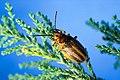 Leaf beetle.jpg