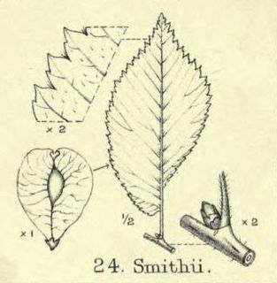 <i>Ulmus</i> × <i>hollandica</i> Smithii Elm cultivar