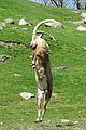 Leaping mountain goat.JPG