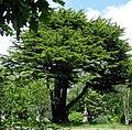 Lebanon-cedar-hc.jpg