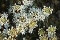 Ledem groenlandicum D.jpg