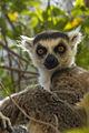 Lemur Catta - Anja Reserve - Madagascar MG 1650 (15283081491).jpg