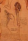 Анатомический рисунок ног.[1]