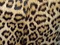Leopard coat 1960-70 (4).jpg