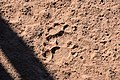Leopard tracks, Ruaha National Park (1) (29022939005).jpg