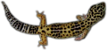Leopardgeckotransparent.png