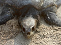 Lepidochelys olivacea dead at Rushikonda beach 02.JPG