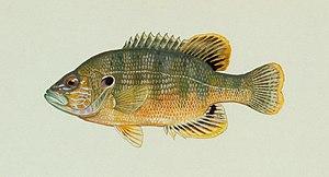 Green sunfish - Image: Lepomis cyanellus Raver