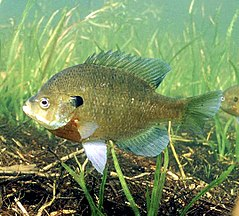 Lepomis macrochirus photo.jpg