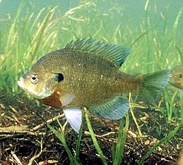 Lepomis macrochirus photo