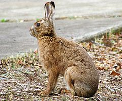 Lepus brachyurus, March, Tsukuba, Japan.jpg