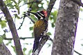 Lesser Golden Woodpecker.jpg