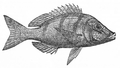 LethrinusNebulosus.png