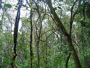 Liana - Liana tangle across a forest in the Western Ghats