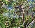 Libellula luctuosa-Female-3.jpg