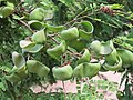 Libidibia coriaria - Divi-divi Tree - Caesalpinia coriaria - WikiSangamotsavam 2018, Kottappuram, Kodungalloor (6).jpg