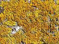 Lichen crust - geograph.org.uk - 825468.jpg