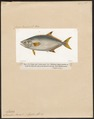 Lichia amia - 1700-1880 - Print - Iconographia Zoologica - Special Collections University of Amsterdam - UBA01 IZ13500451.tif