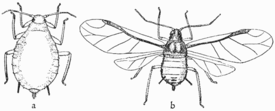 Life-story of insects 06fig Aphis pomi.png