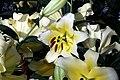 Lilium Conca dOr 2zz.jpg