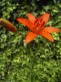 Lilium concolor.jpg