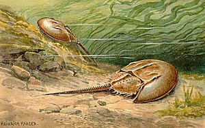 Horseshoe crab - Painting by Heinrich Harder, c. 1916