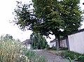 Linde (Naturdenkmal) in Kammersdorf.jpg