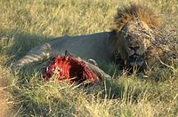 Lion-with-half-eaten-warthog.jpg