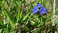 Lithospermum-purpureocaeruleum-Salinelles-PhilippeGerbet.jpg