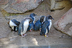 Little Blue Penguin (Eudyptula minor) -group at Adelaide Zoo.jpg