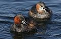 Little Grebe (or Dabchick), Tachbaptus ruficollis, at Marievale, Nature Reserve, Gauteng, South Africa (28805426794).jpg